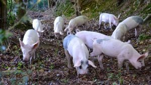 pigs-in-forest-pannage